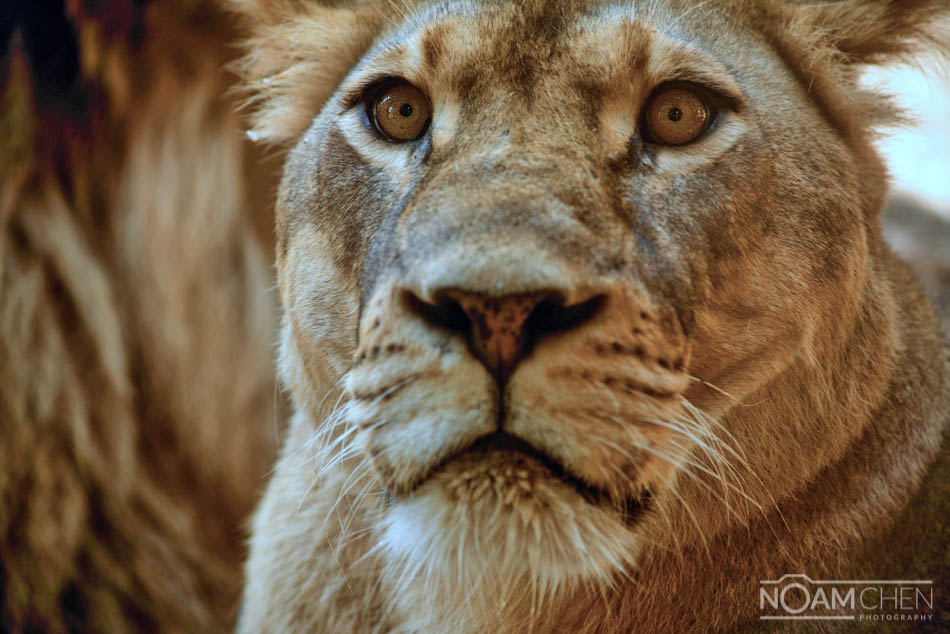 African Lioness Related Keywords & Suggestions - African ...