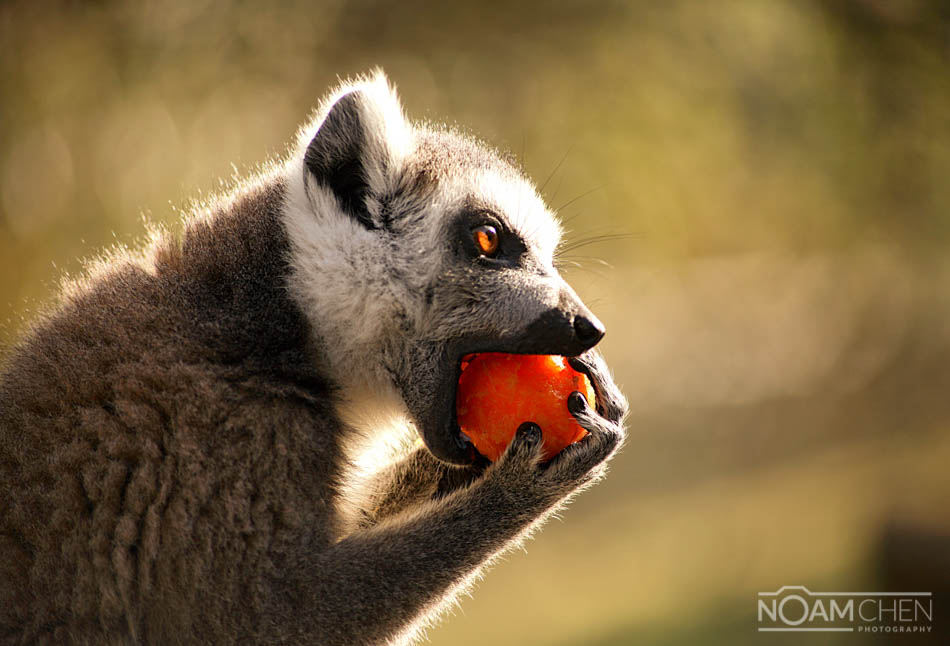 What Eats The Ring Tailed Lemur